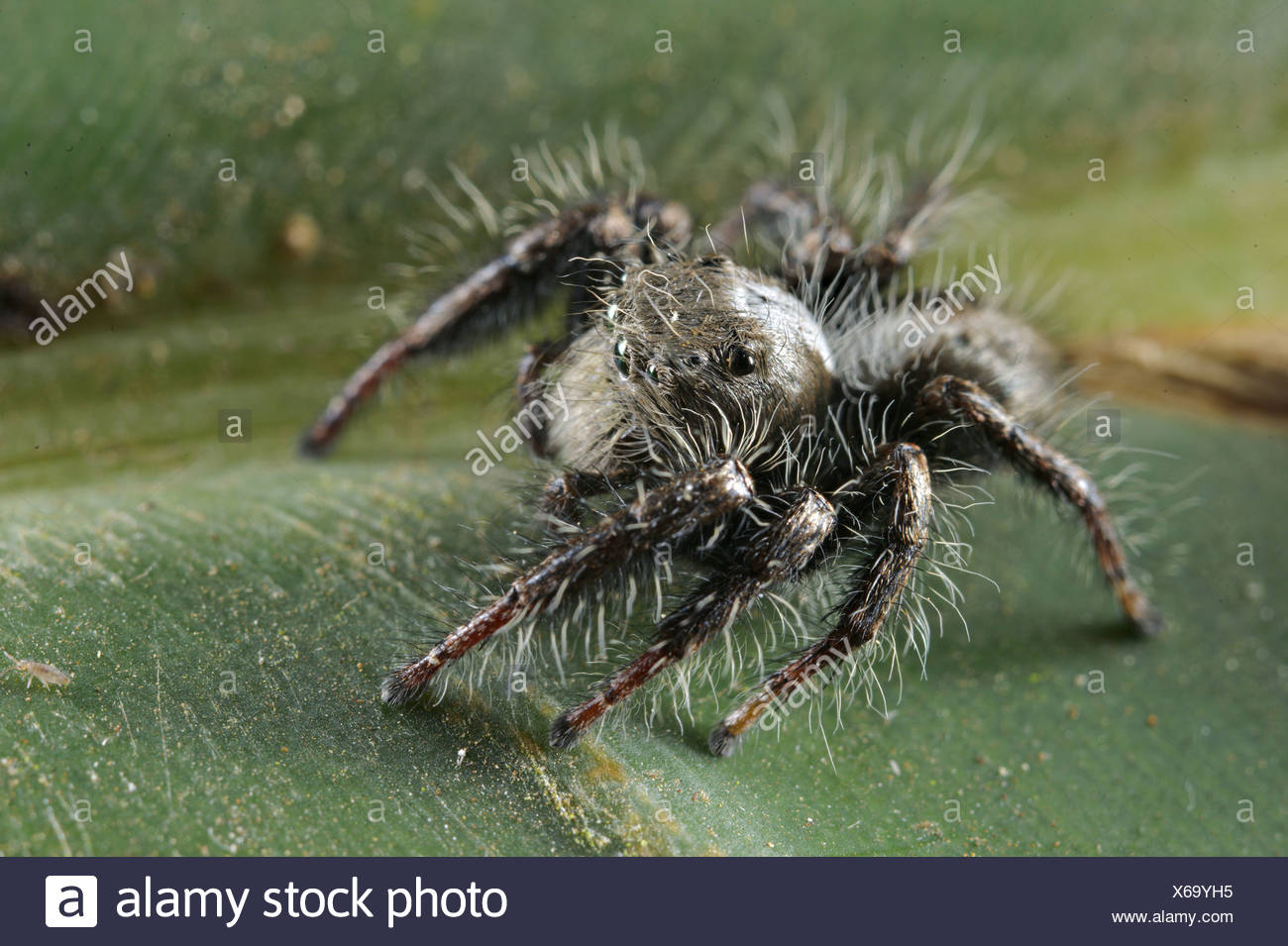 Giant African Spider South African S...