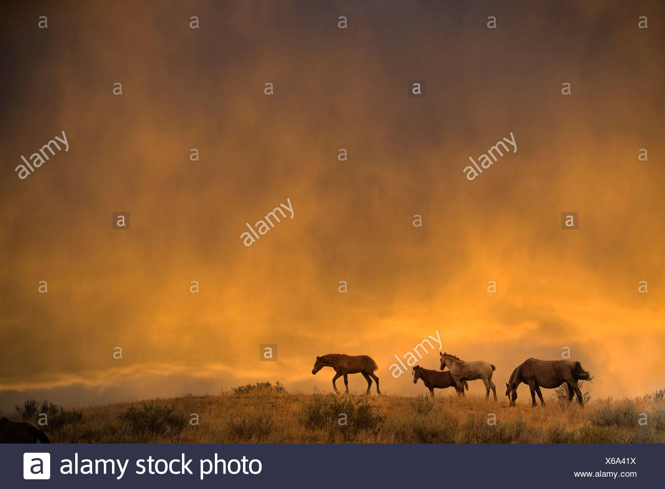 wild horse, Theodore, Roosevelt, National Park, North Dakota, USA, United States, America, horses, animal, sunset - Stock Image