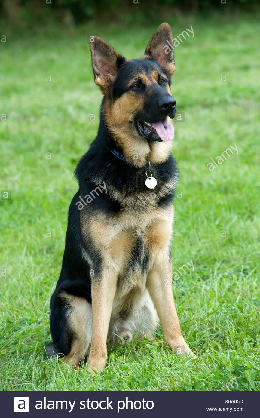 German Shepherd Dog Alsatian Sitting in park UK - Stock Image