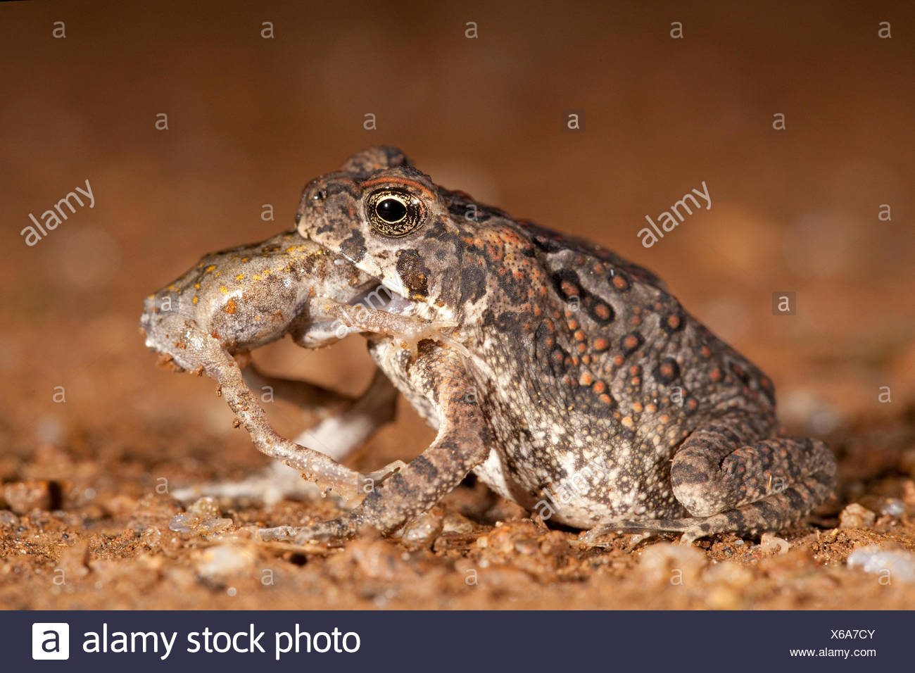 photo of a cane toad eating another juvenile cane toad - Stock Image