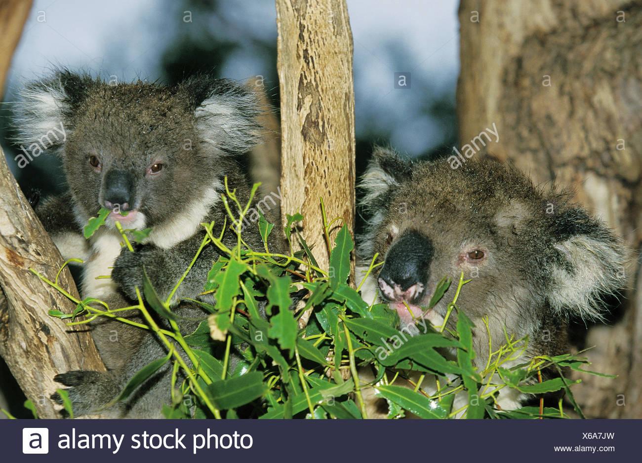 Koala or ash-grey koala,Phascolarctos cinereus,mother animal,young animal,eat,eucalyptus,Australia, Stock Photo