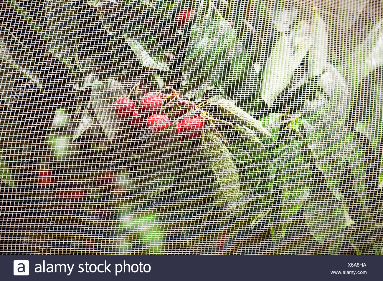 Cherries growing on a tree behind netting - Stock Image