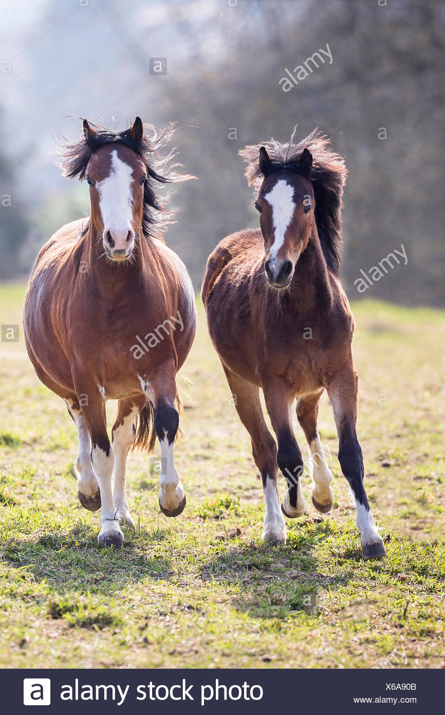 Welsh Pony Two bay adults galloping pasture - Stock Image