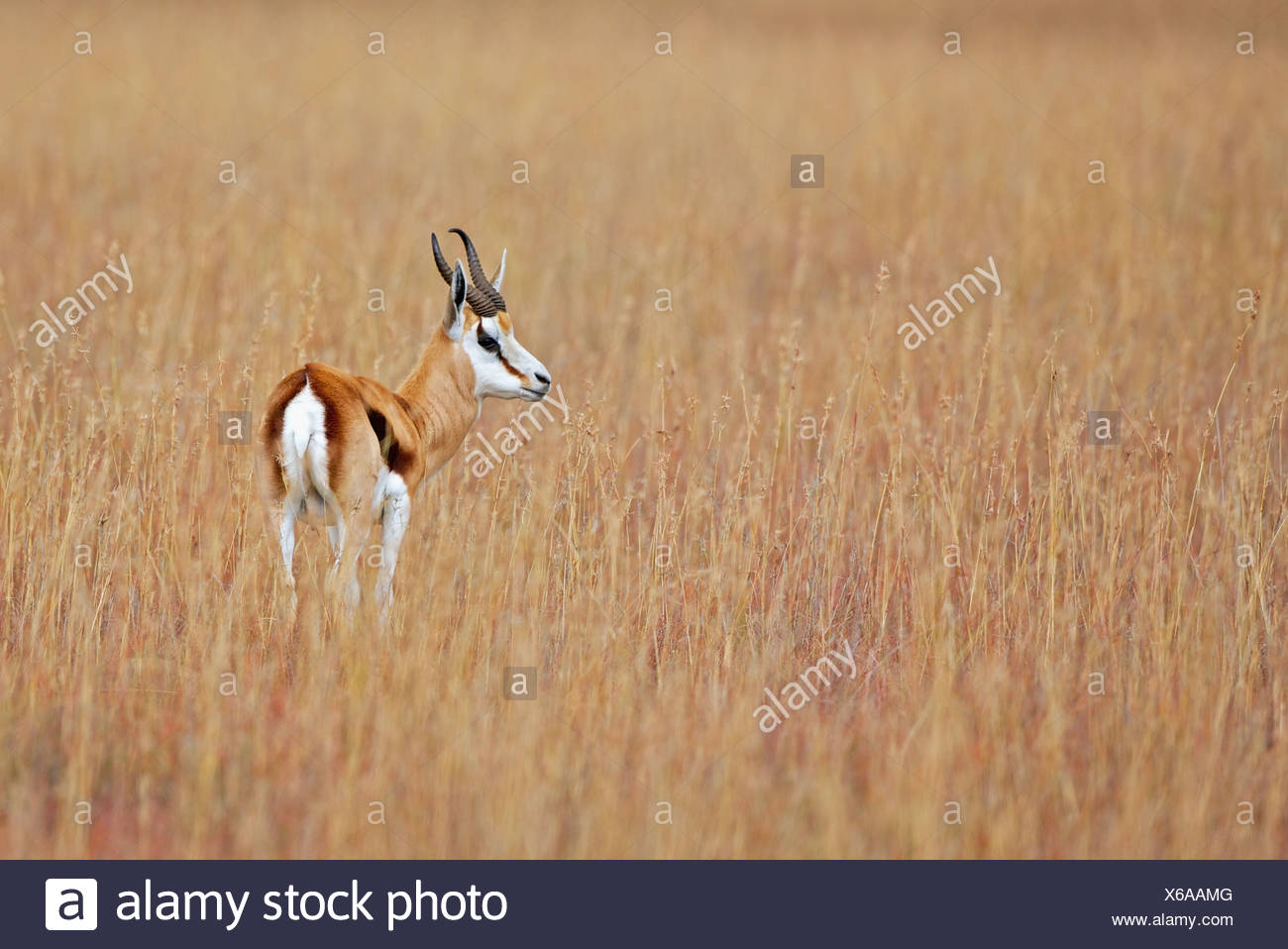 Springbok (Antidorcas marsupialis) looks out over plains, Mountain Zebra National Park, Eastern Cape Province, South Africa - Stock Image