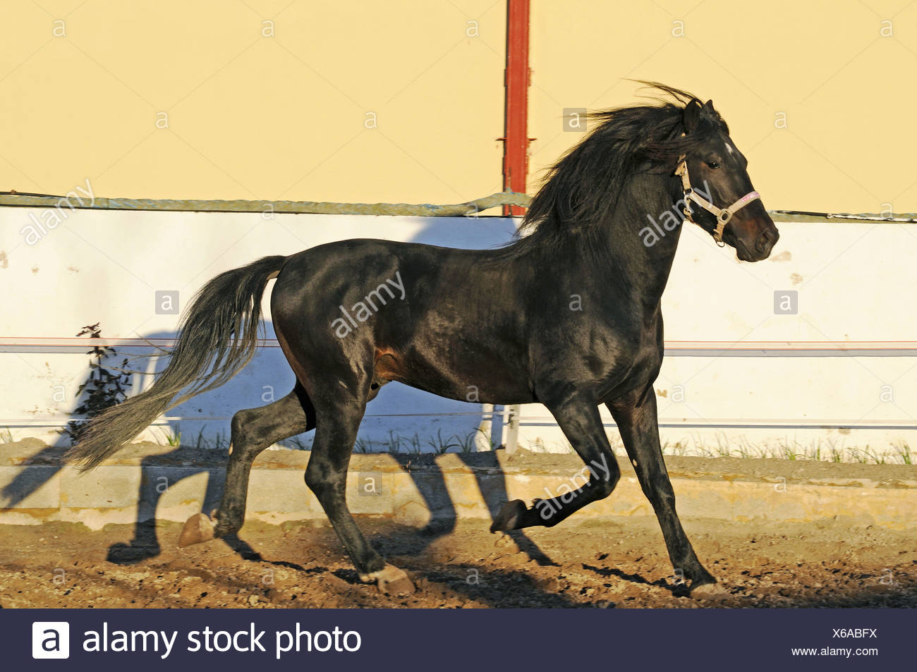 Walking Horse - Stock Image