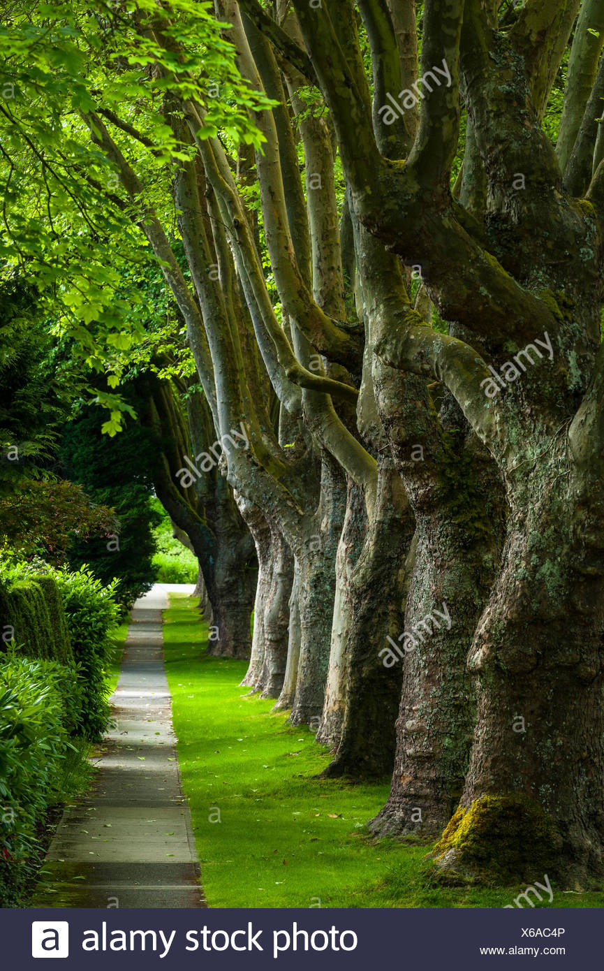 Tree Lined sidewalk, Kerrisdale, Vancouver, British Columbia, Canada - Stock Image