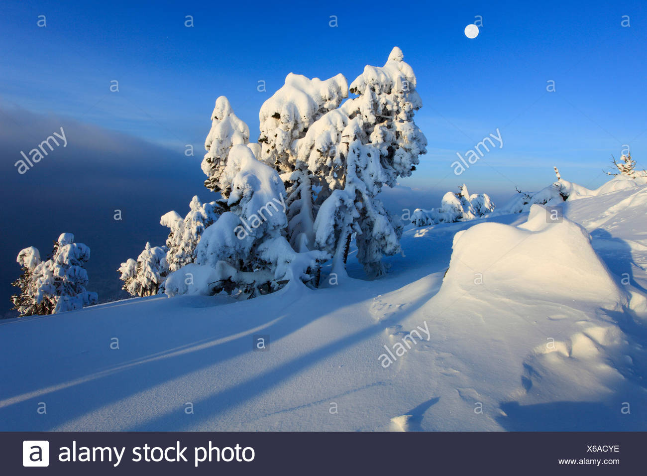 Norway spruce (Picea abies), snowcovered conifers at Niederhorn in the evening with full moon, Switzerland, Bernese Oberland - Stock Image