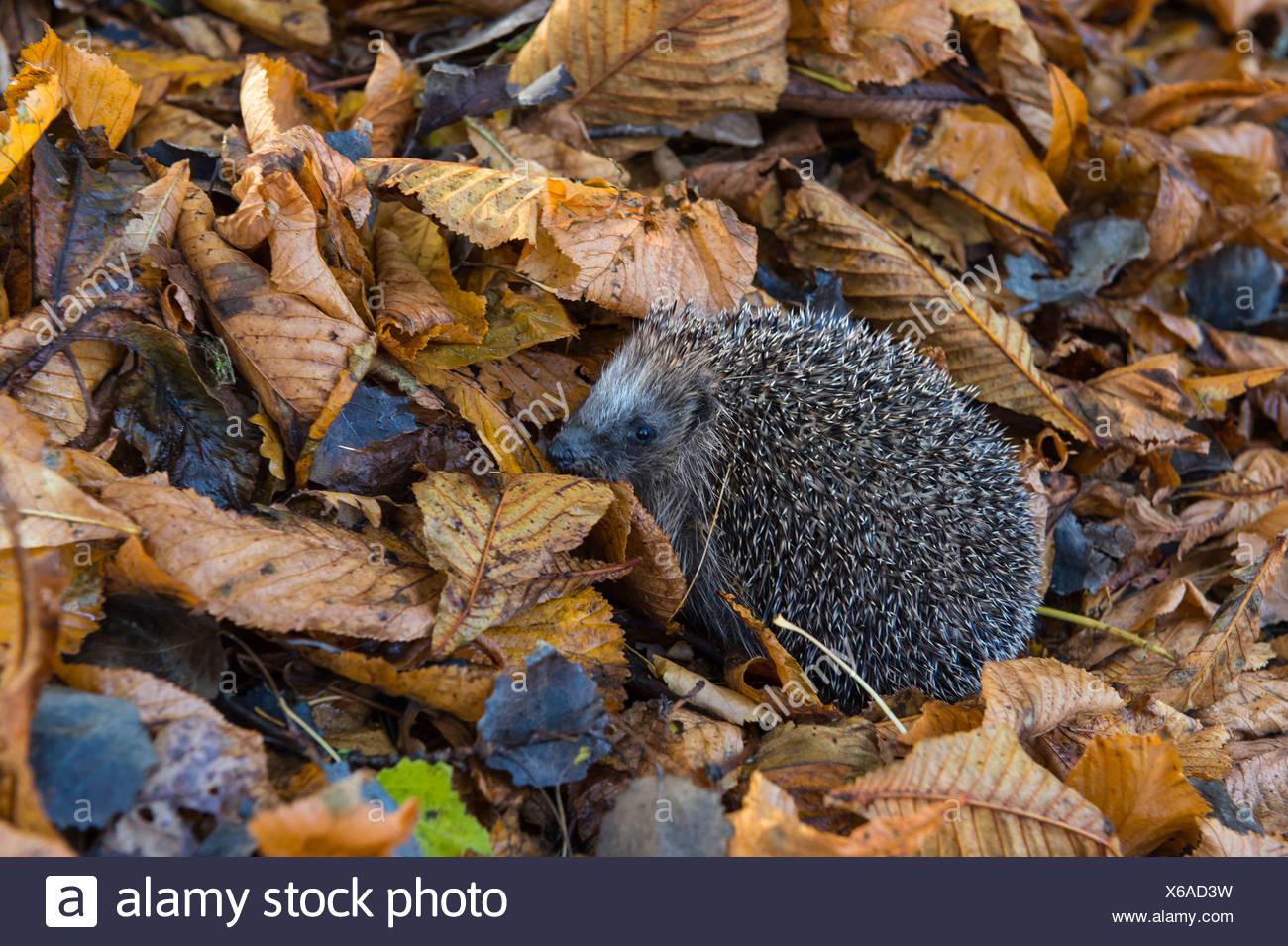 hedgehog in autumn leaves, erinaceidae, germany - Stock Image