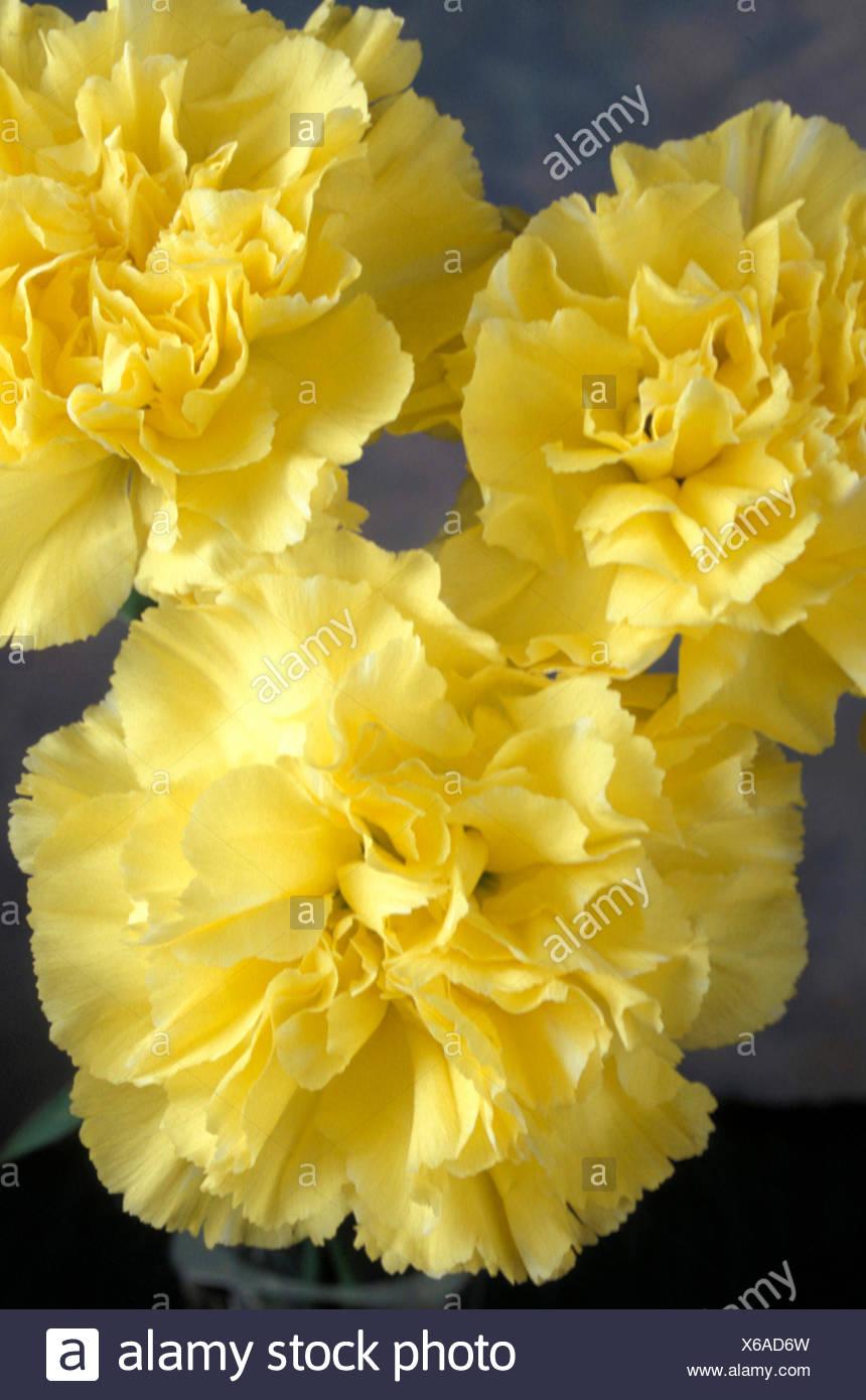 Close up yellow carnation flower dianthus stock photos close up dianthus caryophyllus yellow carnations stock image mightylinksfo