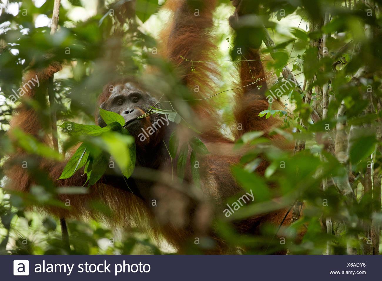 An adult male Bornean orangutan, Pongo pygmaeus wurmbii, hangs from a tree branch in Gunung Palung National Park. - Stock Image