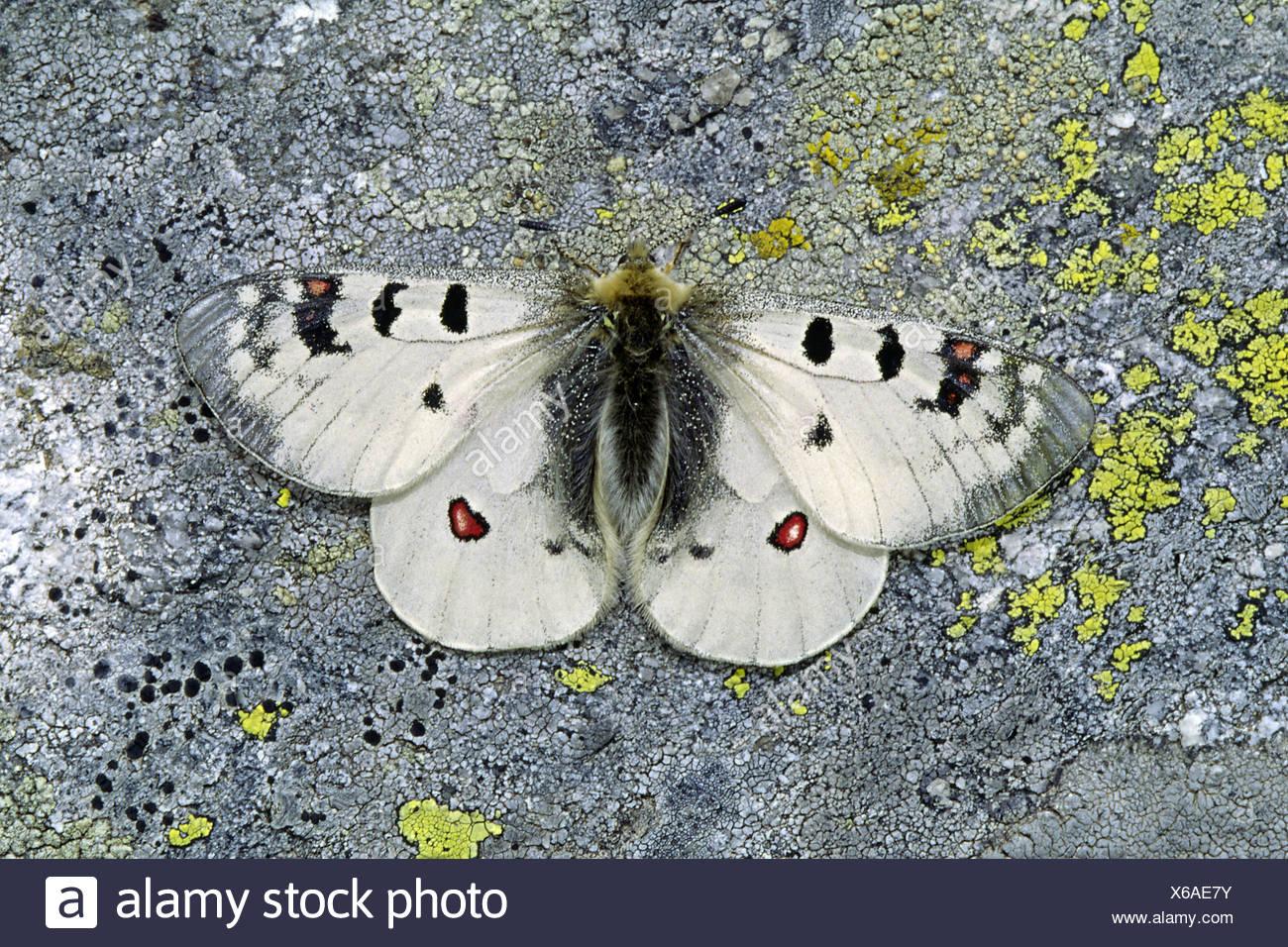 butterfly blank european caucasian butterflies parnassius phoebus Stock Photo
