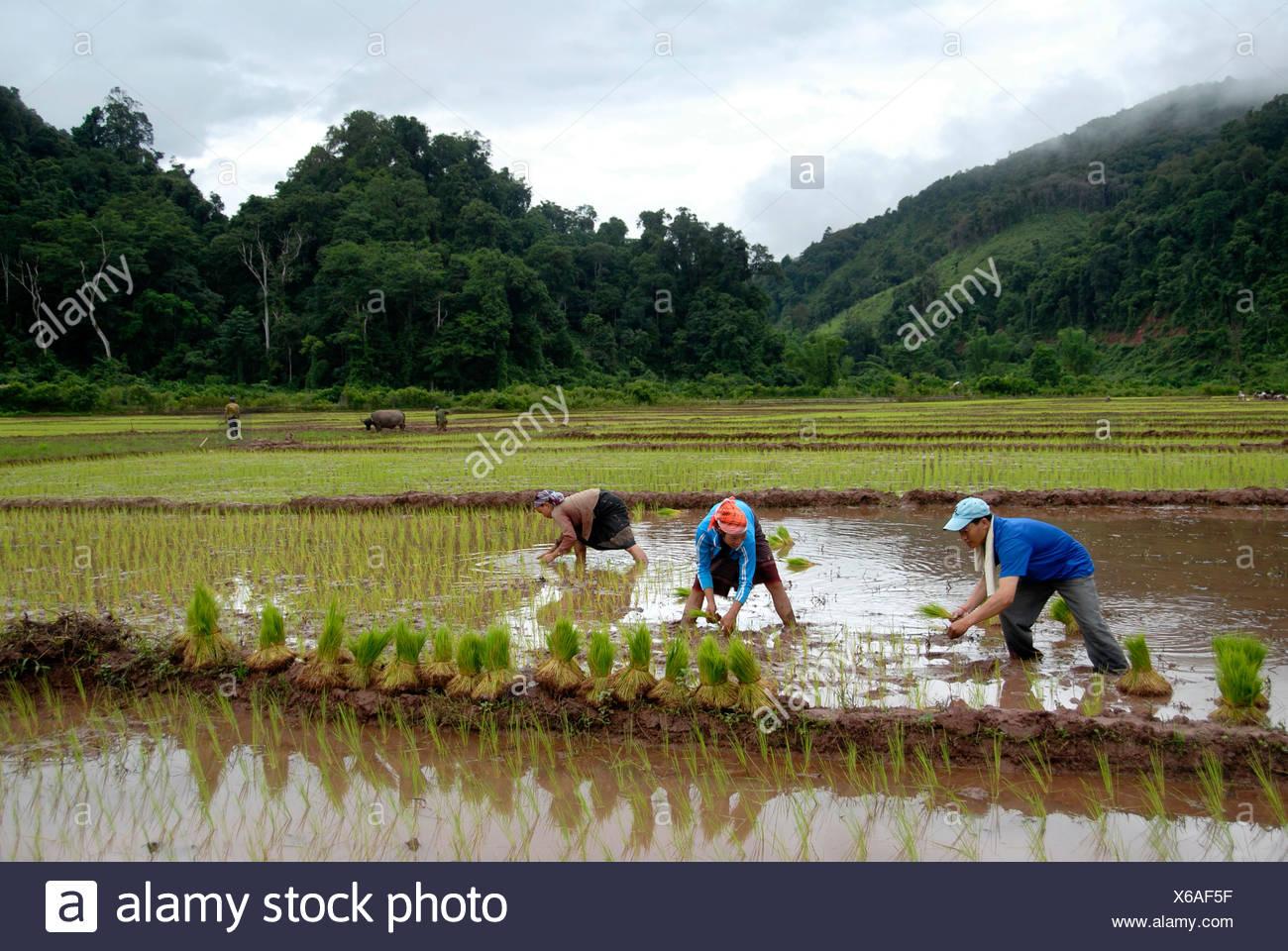 Men and women planting rice near Ban Naten, Nam Lan Conservation Area, Phongsali Province, Laos, South East Asia - Stock Image