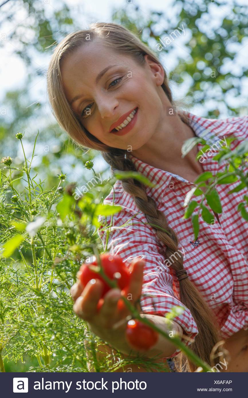 Mid adult woman in garden, picking tomatoes - Stock Image