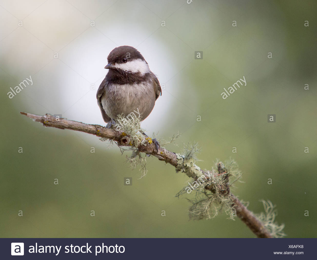 Chestnut-backed chickadee, Poecile rufescens, Forest Knolls, California, USA - Stock Image