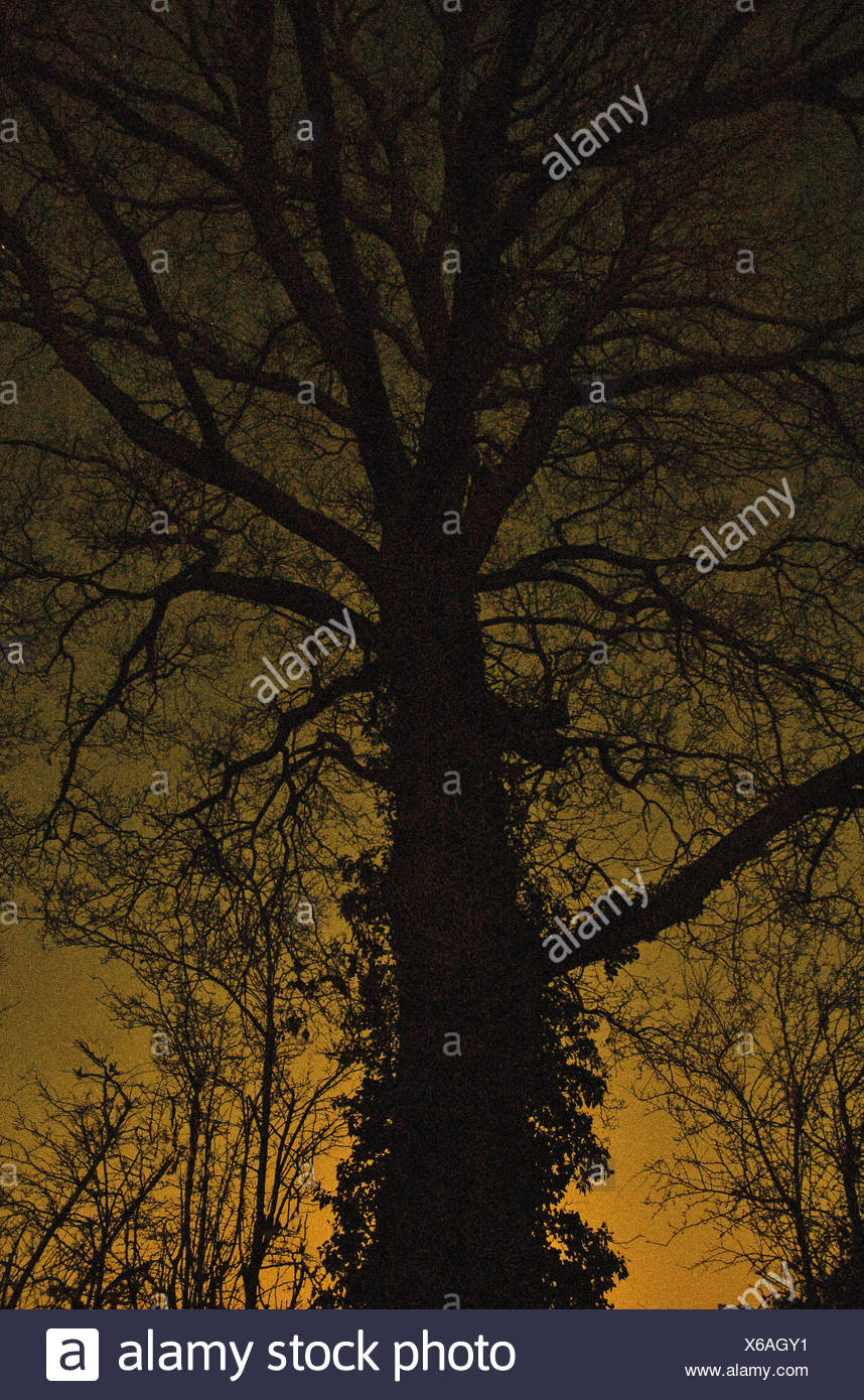 Silhouette of a large old oak tree against an orange sky - Stock Image