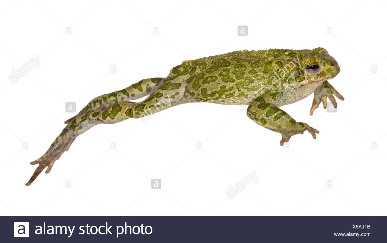 Green Toad - Bufo viridis - Stock Image