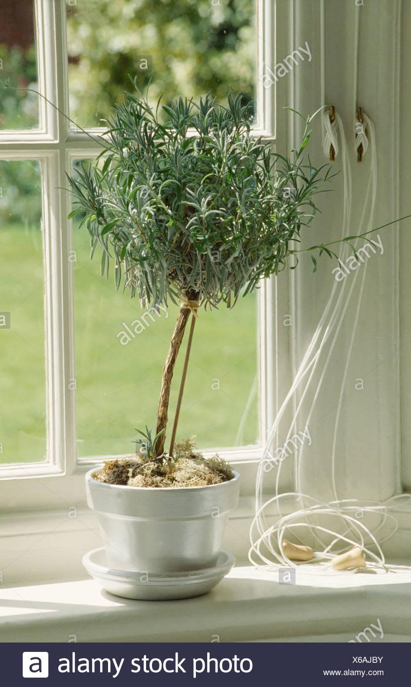 Close Up Of Small Topiary Rosemary Bush In Metallic Pot On Windowsill Stock Photo Alamy