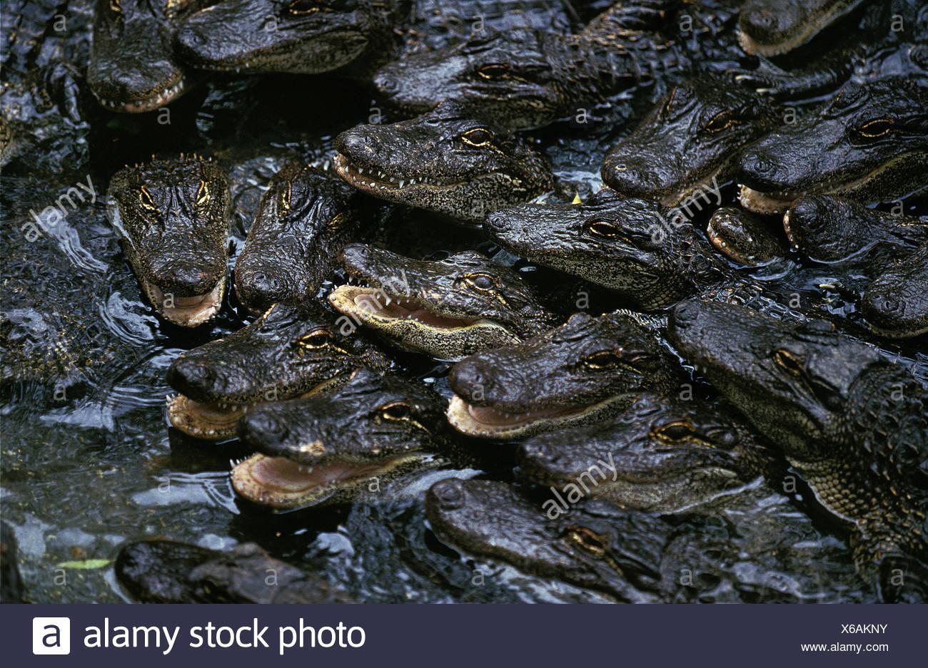 American Alligator, alligator mississipiensis, Babies in Crocodile Farm - Stock Image