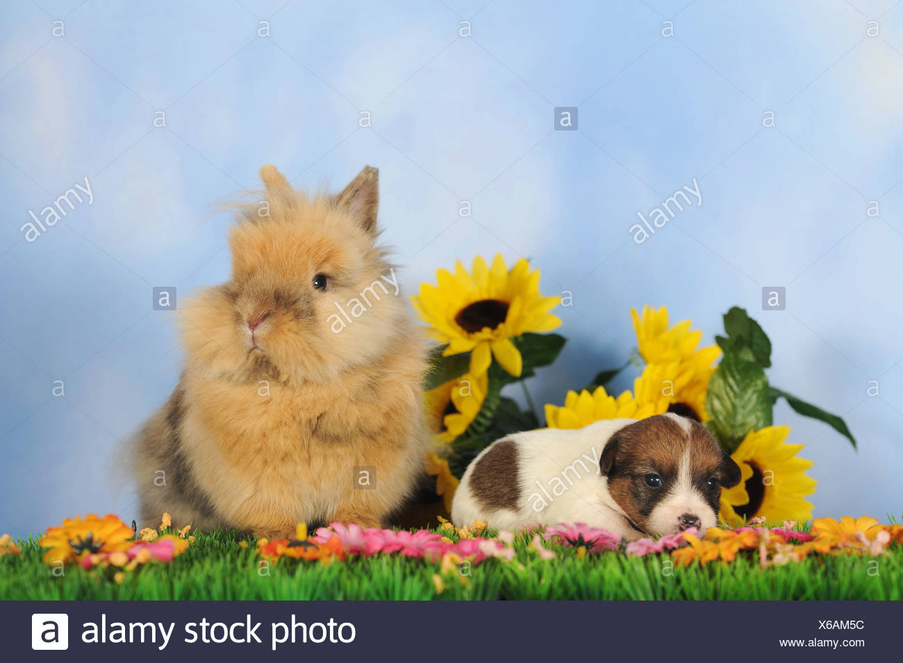 Jack Russell Terrier puppy, 2 weeks, and a dwarf rabbit - Stock Image