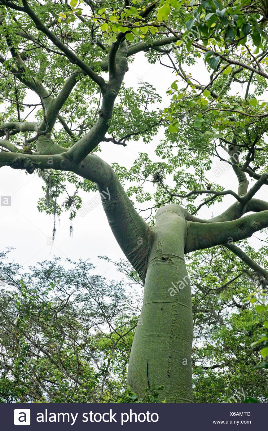 Ceiba Tree (Ceiba trichistandra), family of mallvaceae, Jorupe Nature Reserve, Western Andean Foothills, Ecuador - Stock Image