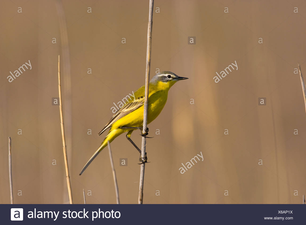 yellow wagtail (Motacilla flava), at blade of reed, Austria, Burgenland, Neusiedlersee NP - Stock Image