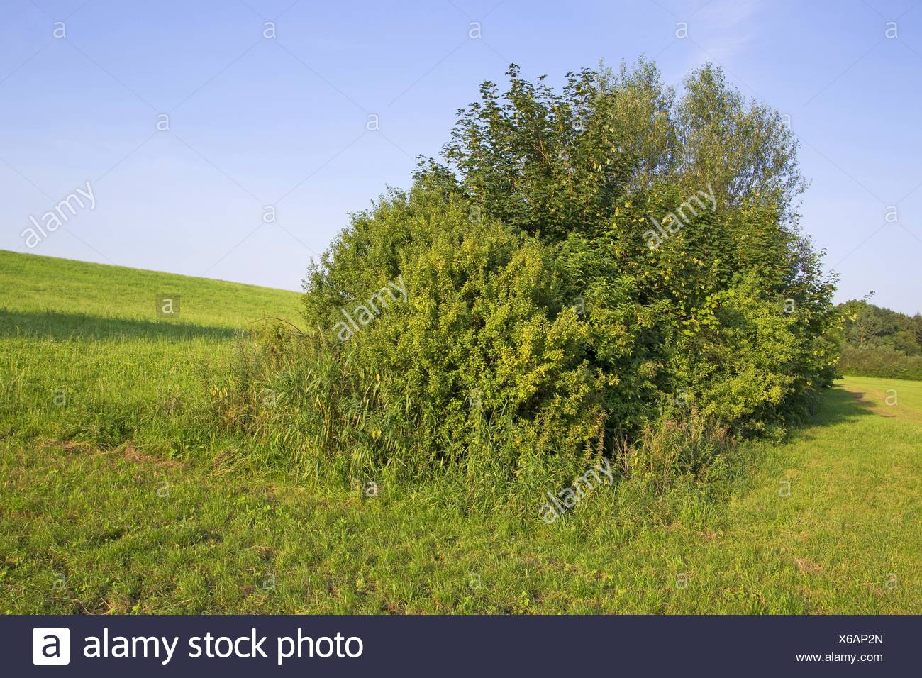 pasture with shrubs, Germany, Schleswig-Holstein - Stock Image
