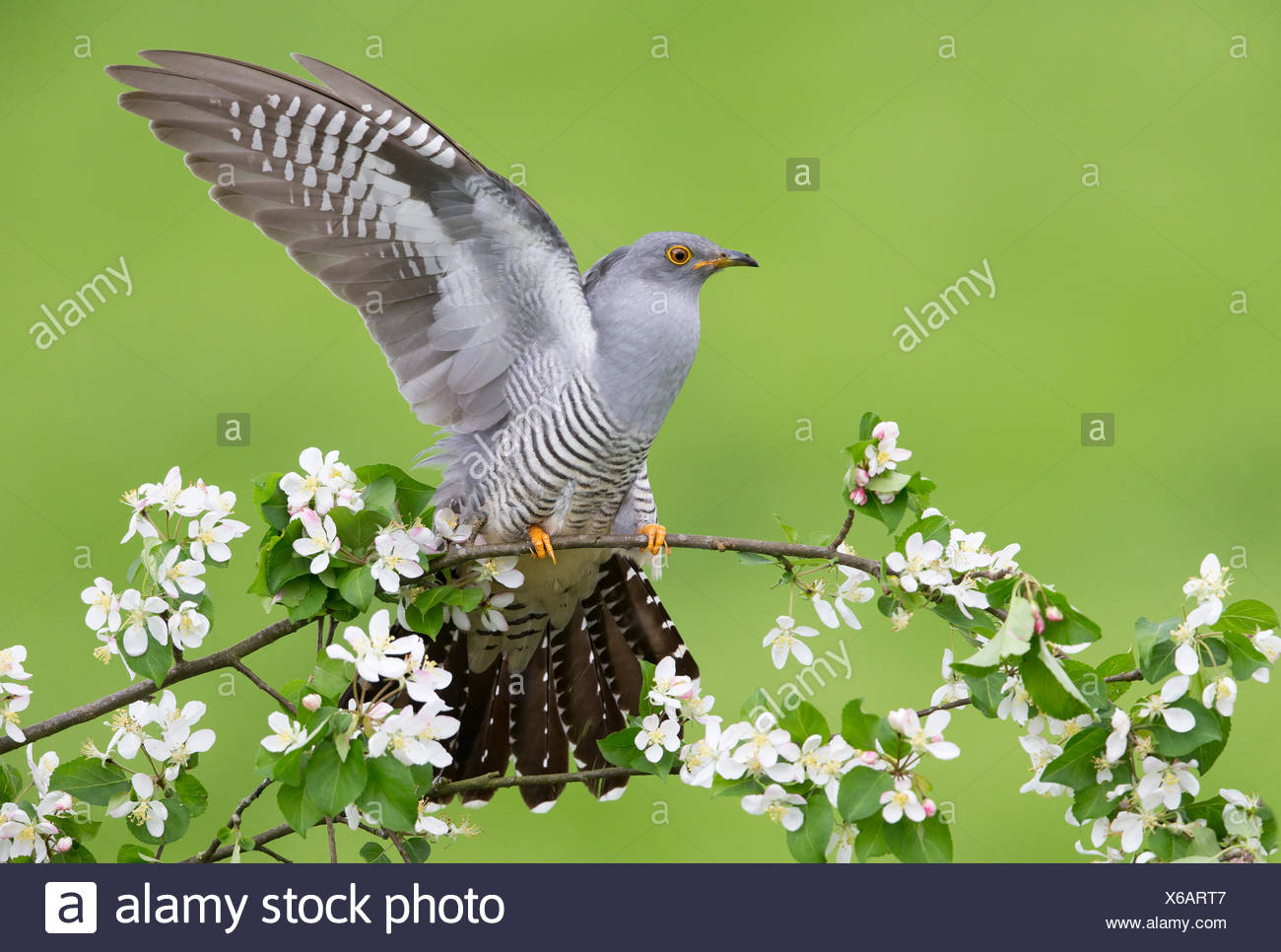 Cuckoo perched in a blooming tree at spring - GB - Stock Image