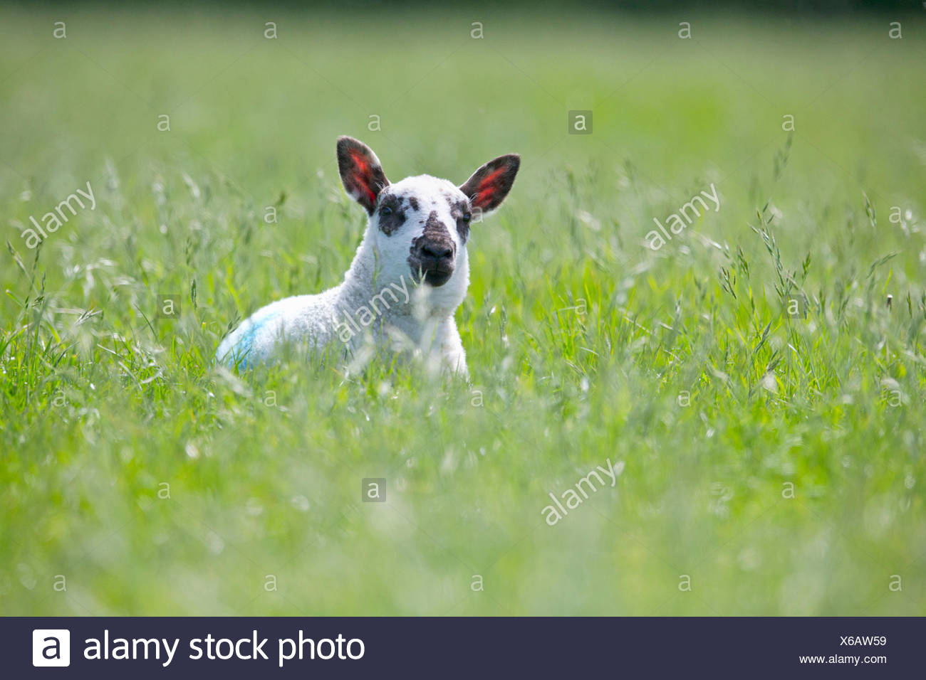 Portrait of curious lamb laying in sunny green spring field - Stock Image