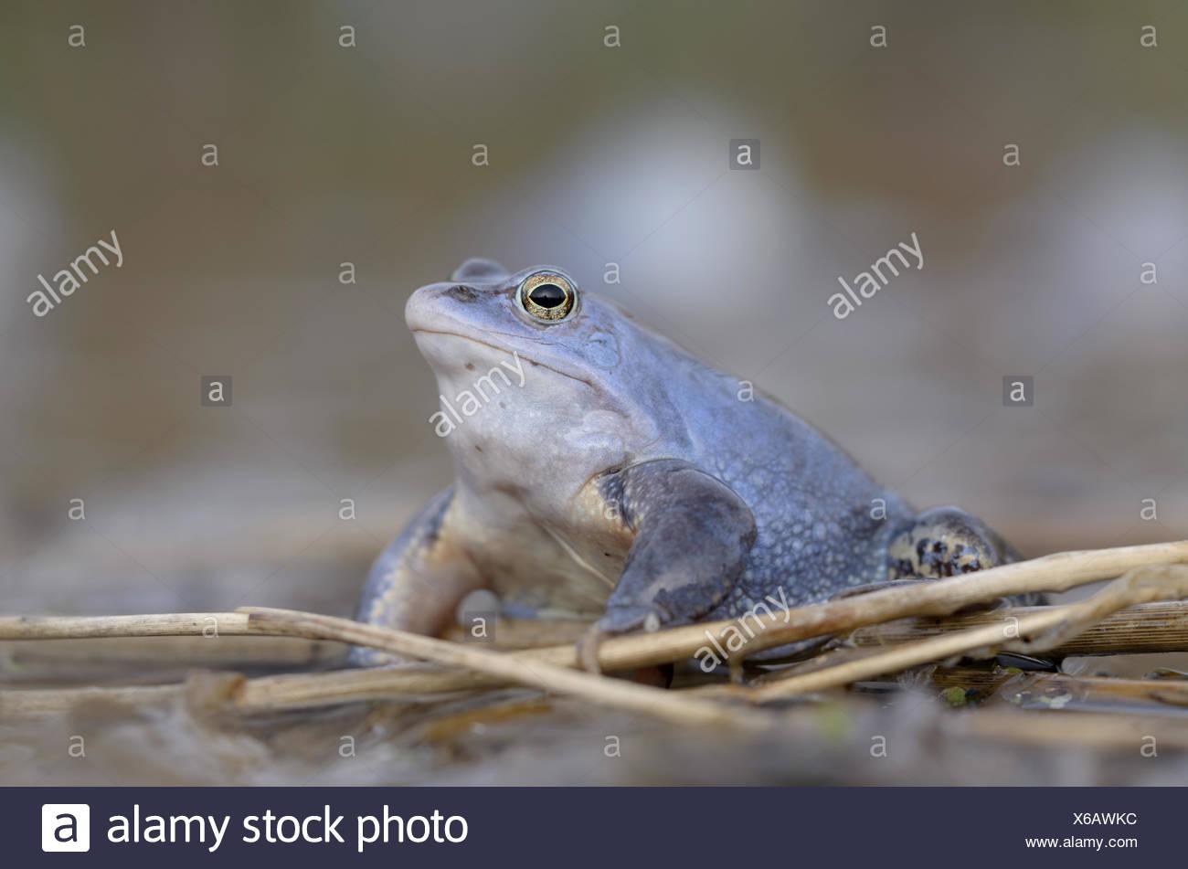 Moor Frog (Rana arvalis), male Stock Photo