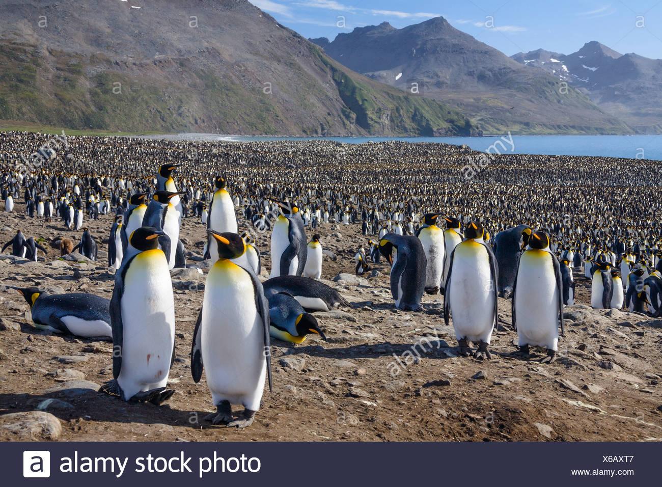 King Penguins in colony, Aptenodytes patagonicus, colony, St Andrews Bay, South Georgia, Subantarctic, Antarctica - Stock Image