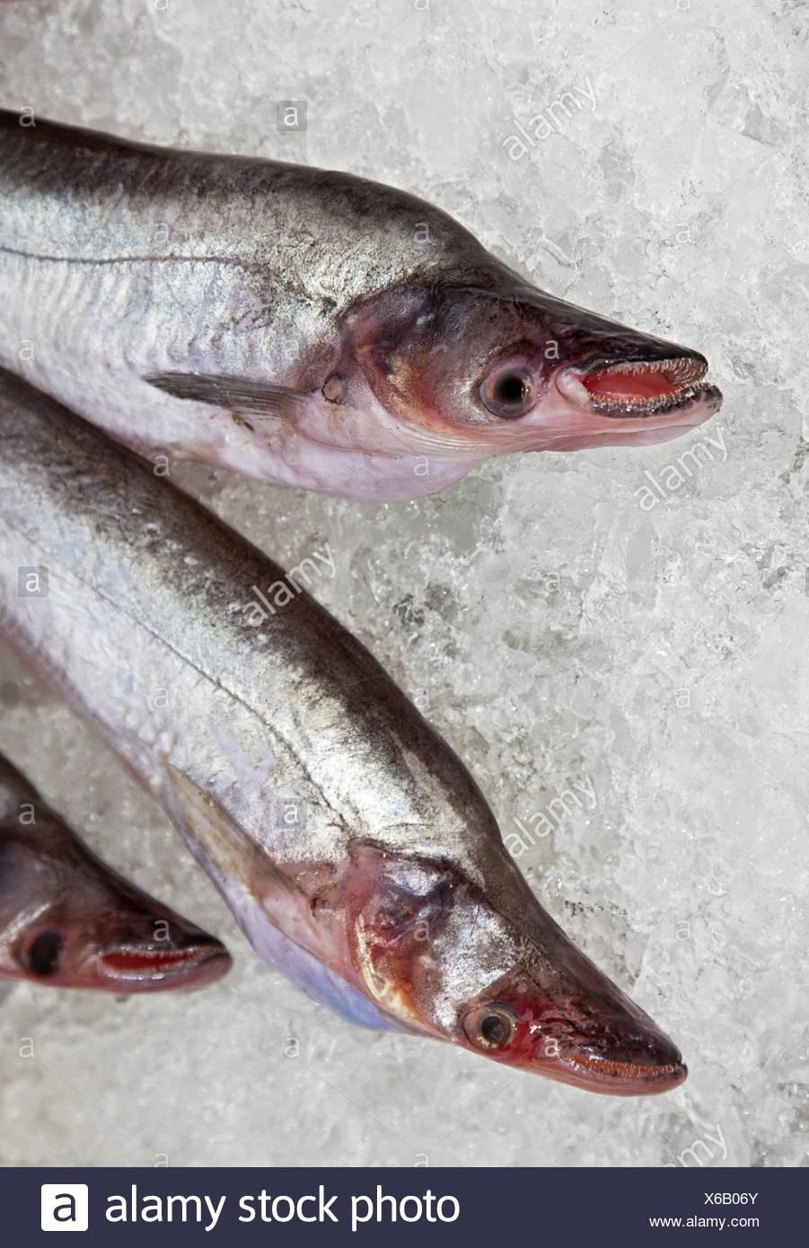 Predatory fish Stock Photo