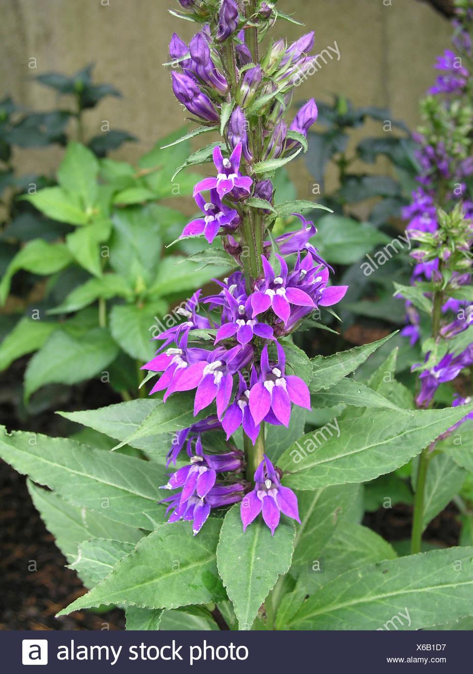 Lobelia Speciosa Blue Purple Stock Photo 279296451 Alamy