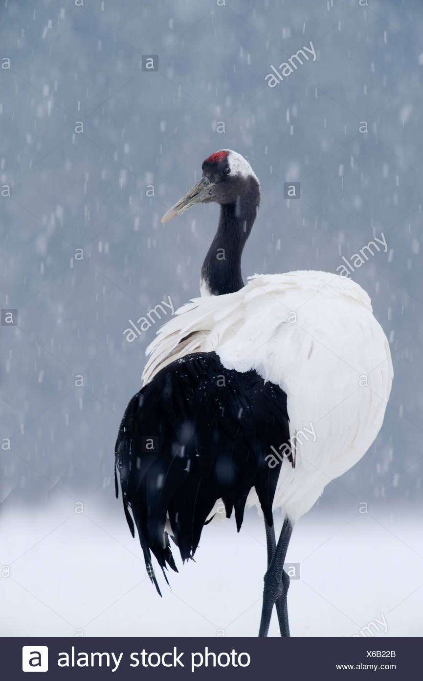 Japanese Red crowned Crane Grus japonensis Akan Hokkaido Japan winter - Stock Image