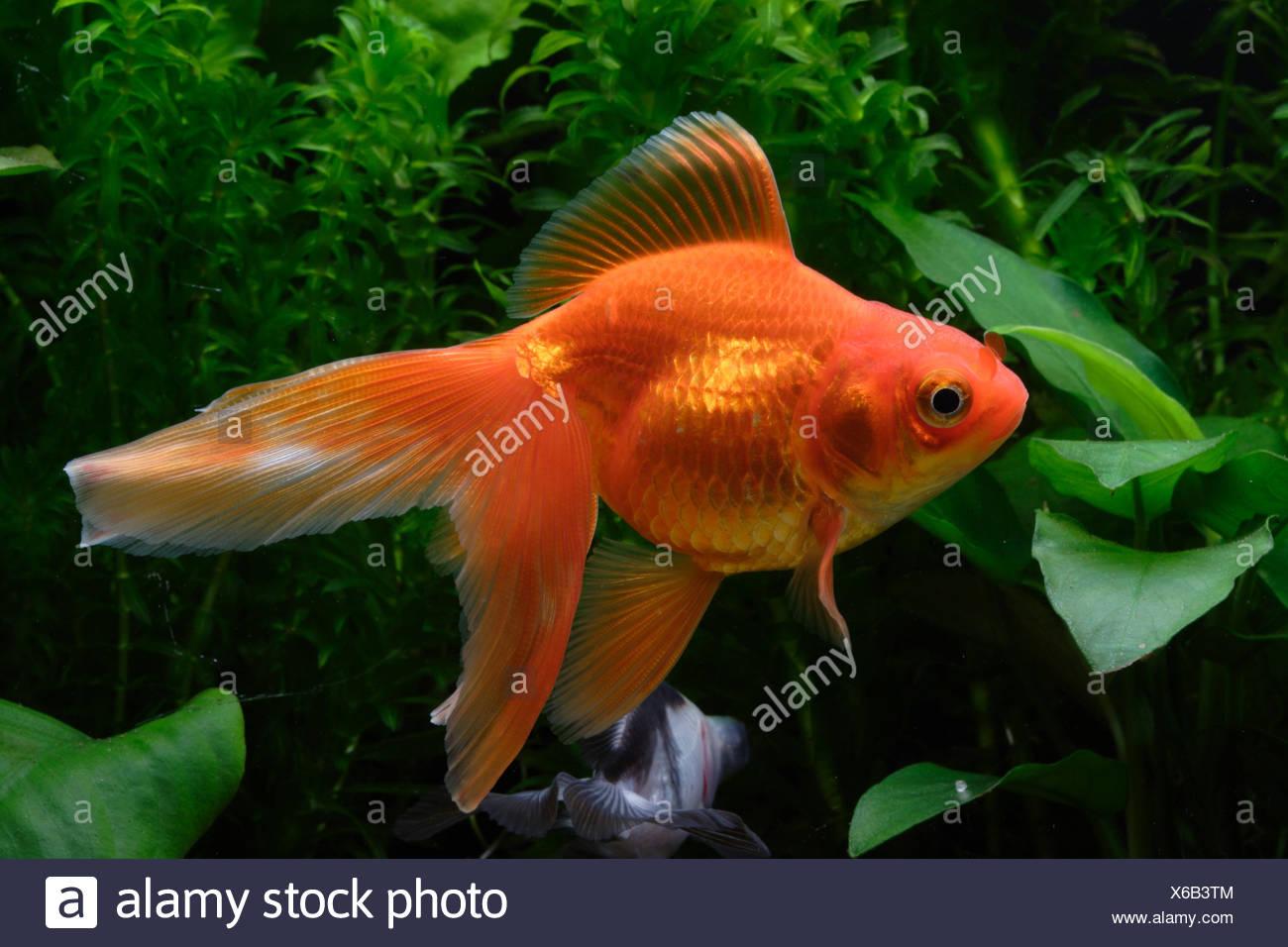 Ryukin Goldfish Stock Photo 279298340 Alamy