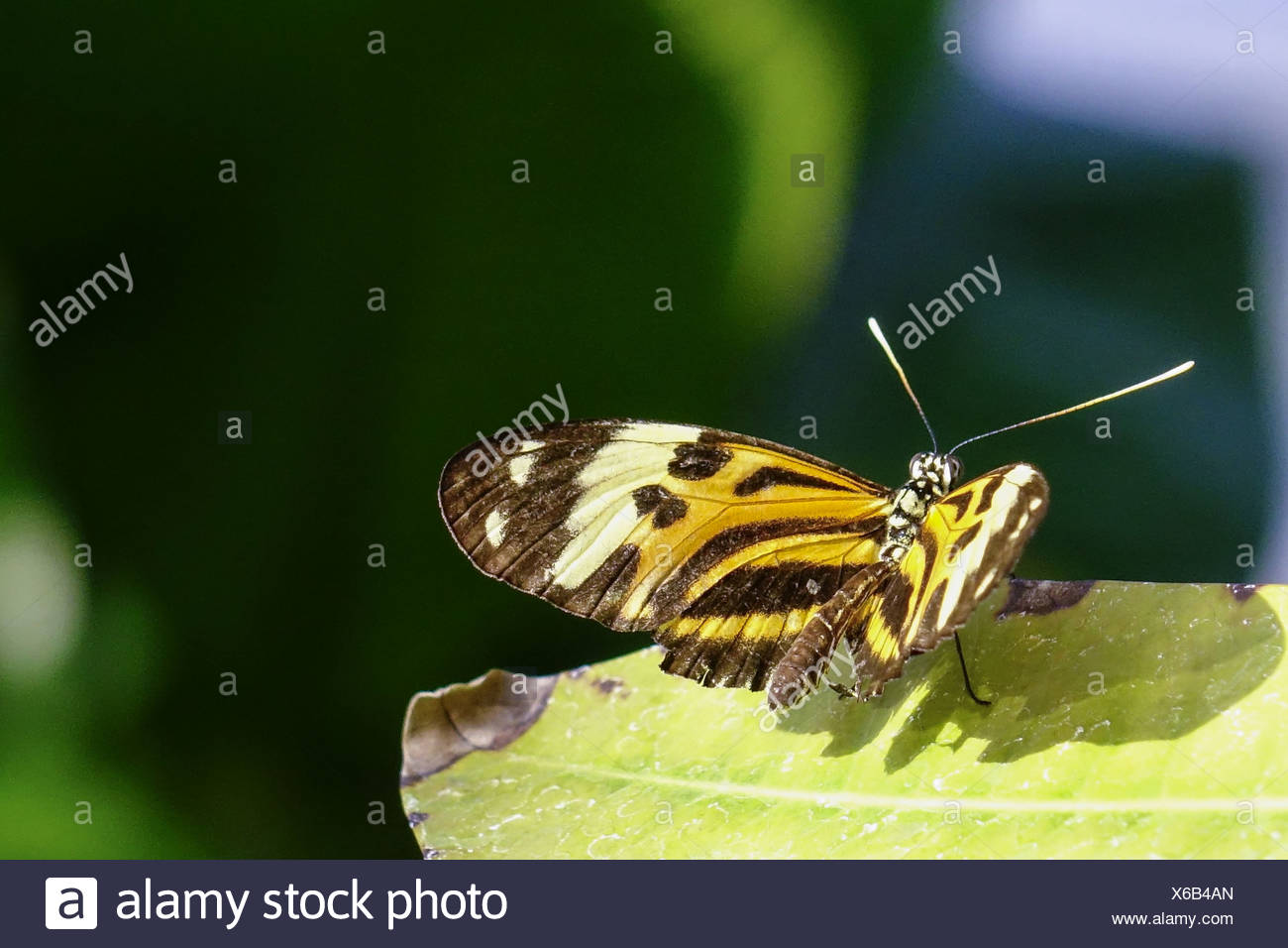 Tropischer Schmetterling, Edelfalter (Heliconius xanthocles) - Stock Image