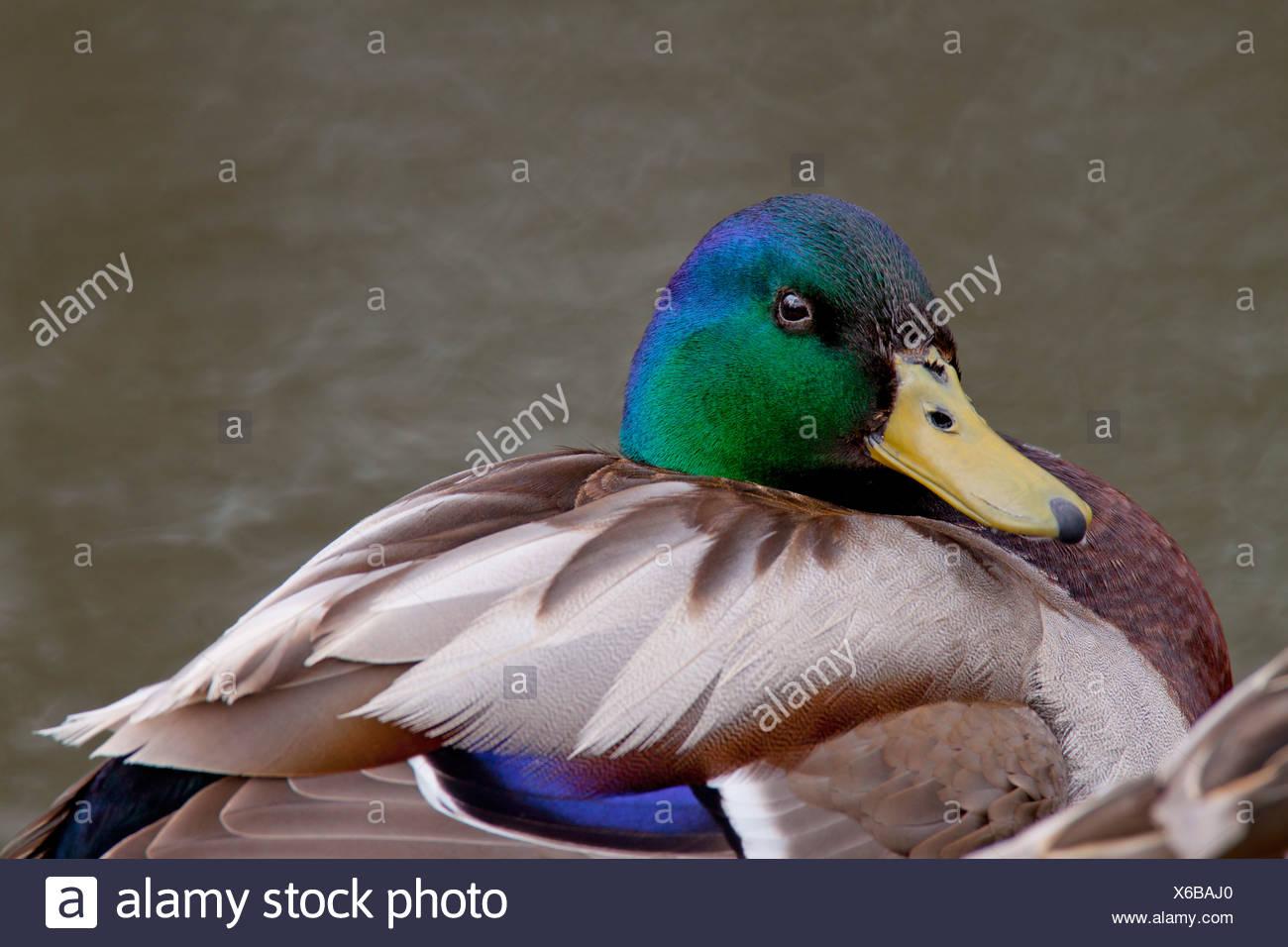 Mallard Duck, Alberta, Canada - Stock Image