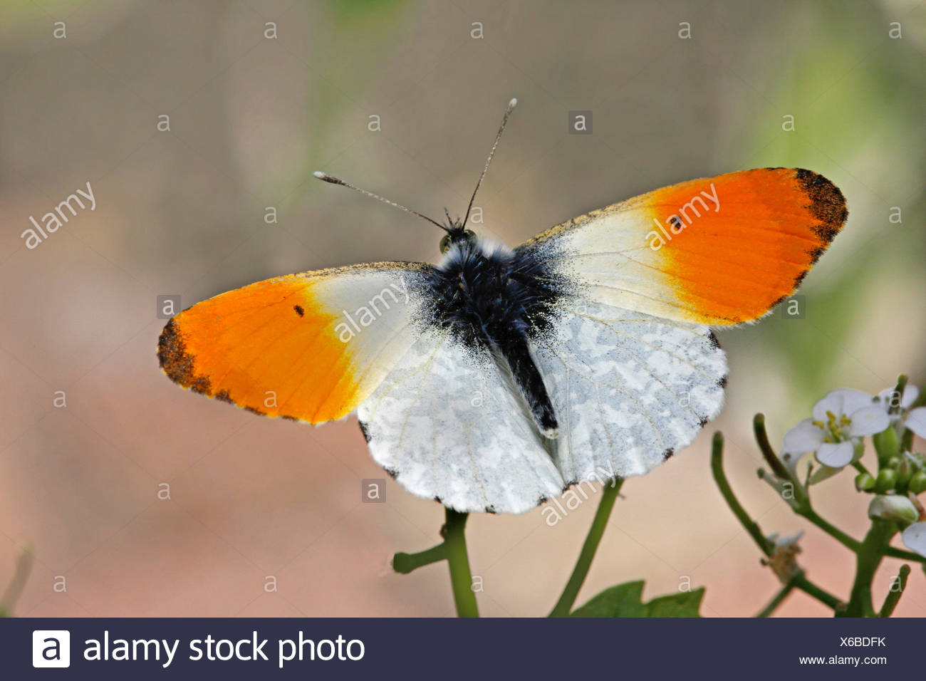 Orange-tip (Anthocharis cardamines), male on cuckoo flower, Germany - Stock Image