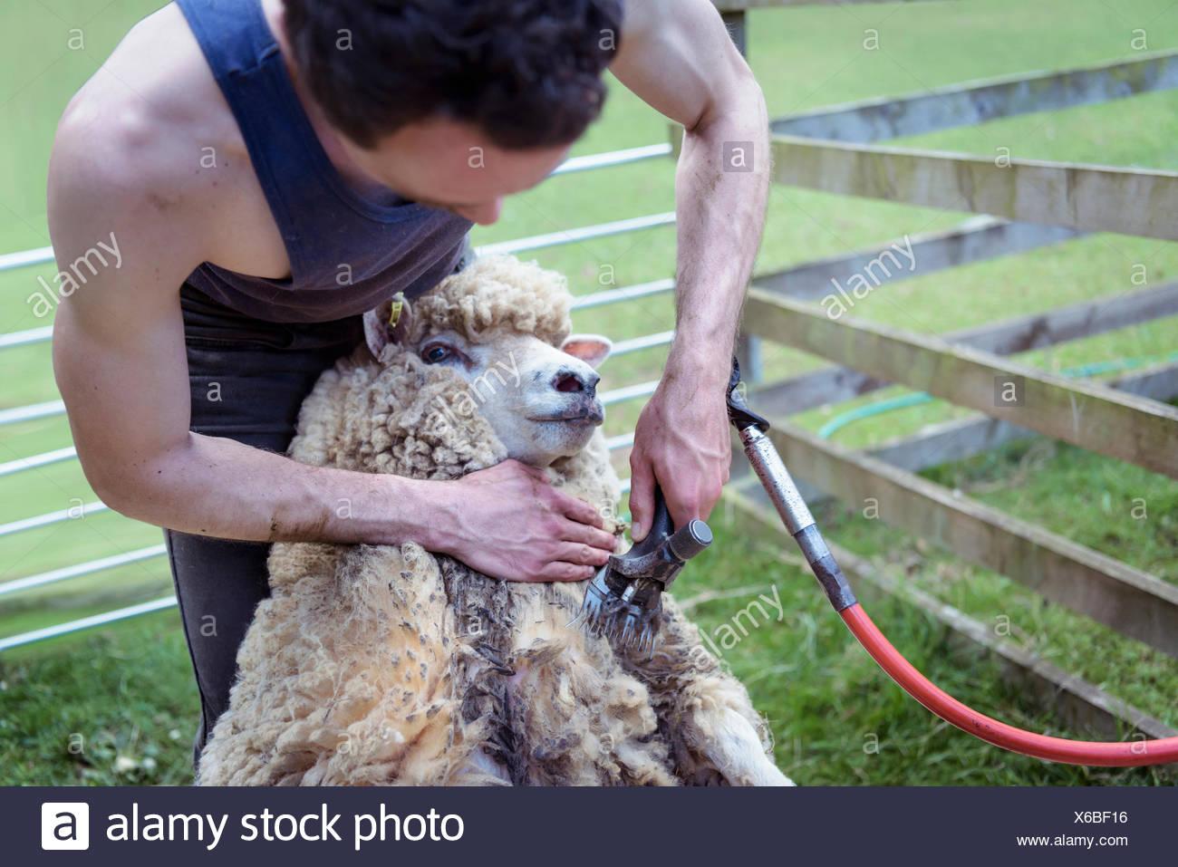 Sheep shearer using shearing tool on sheep - Stock Image