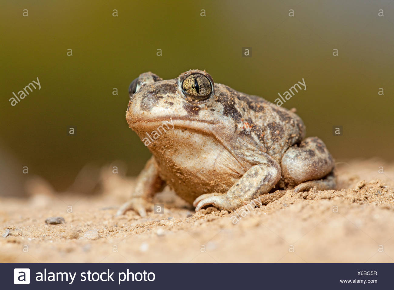 Foto van een juveniele Syrische knofloopad op zand met een tegen een zachte groene achtergrond; photo of a juvenile Eastern spadefoot toad on sand against a soft green background; - Stock Image