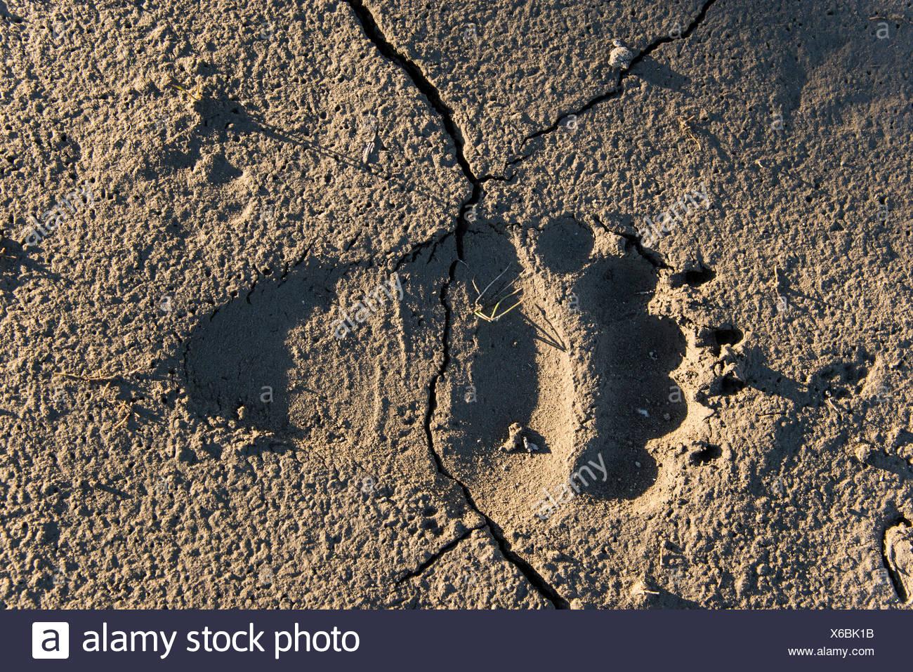 grizzly bear tracks, tracks, national petroleum reserve, petroleum reserve, Alaska, USA, America, reserve, Alaska, USA, America, - Stock Image