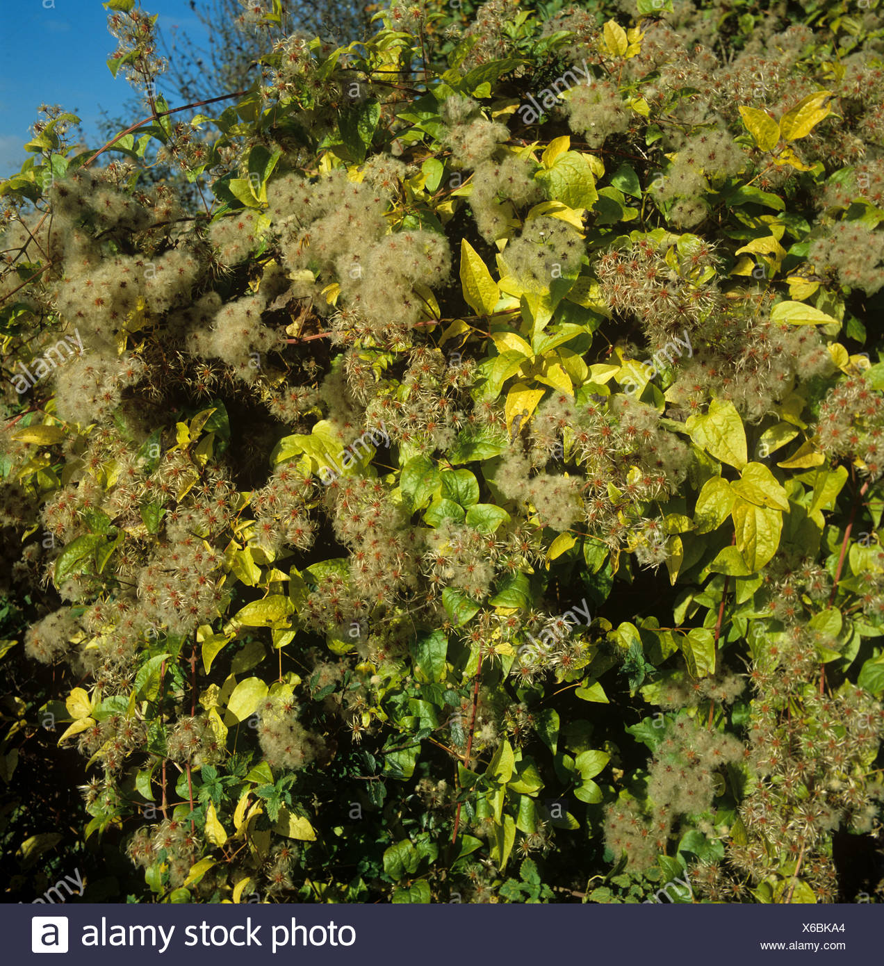 Travellers joy, wild clematis, old mans beard (Clematis vitalba) seeding climber Stock Photo