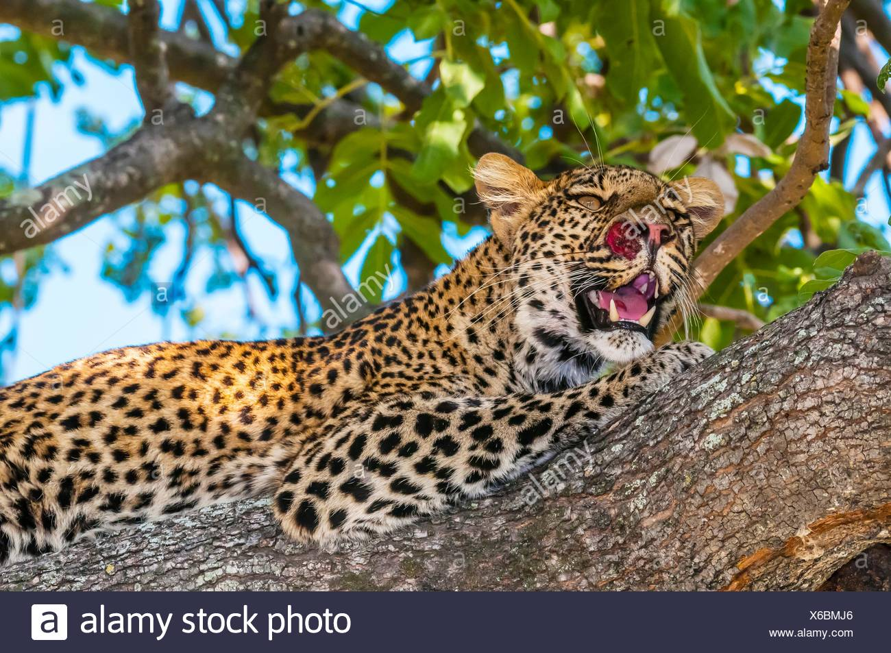 Leopard in a tree, Kwando Concession, Linyanti Marshes, Botswana. Stock Photo