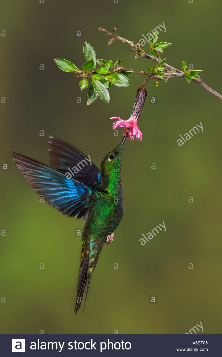 Great Saphirewing (Pterophanes cyanopterus) flying and feeding at a flower at the Yanacocha reserve near Quito, Ecuador. - Stock Image