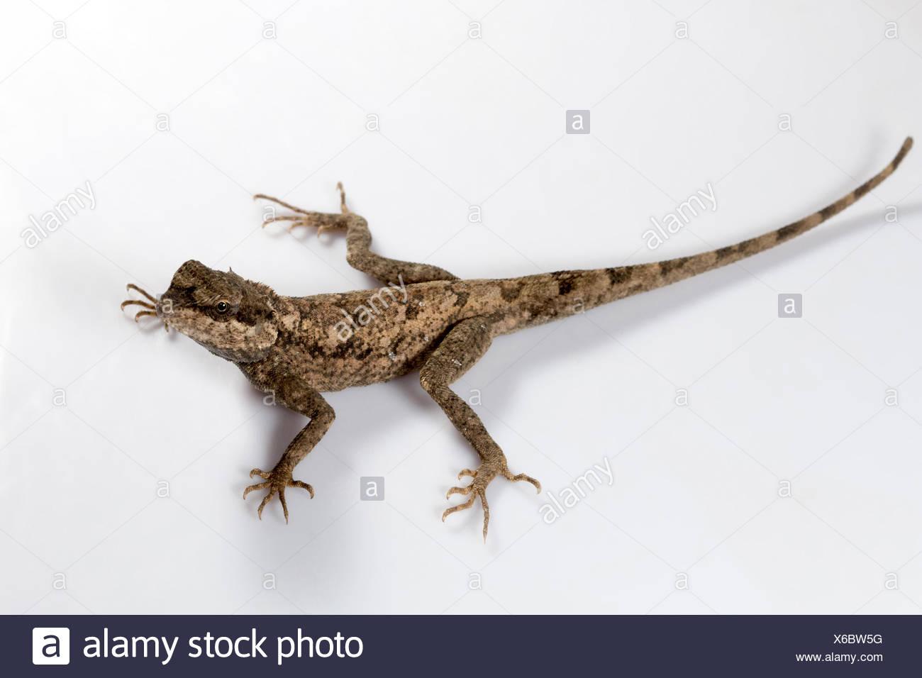Rock agama, Psammophilus blanfordanus, Udanti Tiger Reserve, Chhattisgarh. Blanford's rock agama is found in Peninsular India - Stock Image