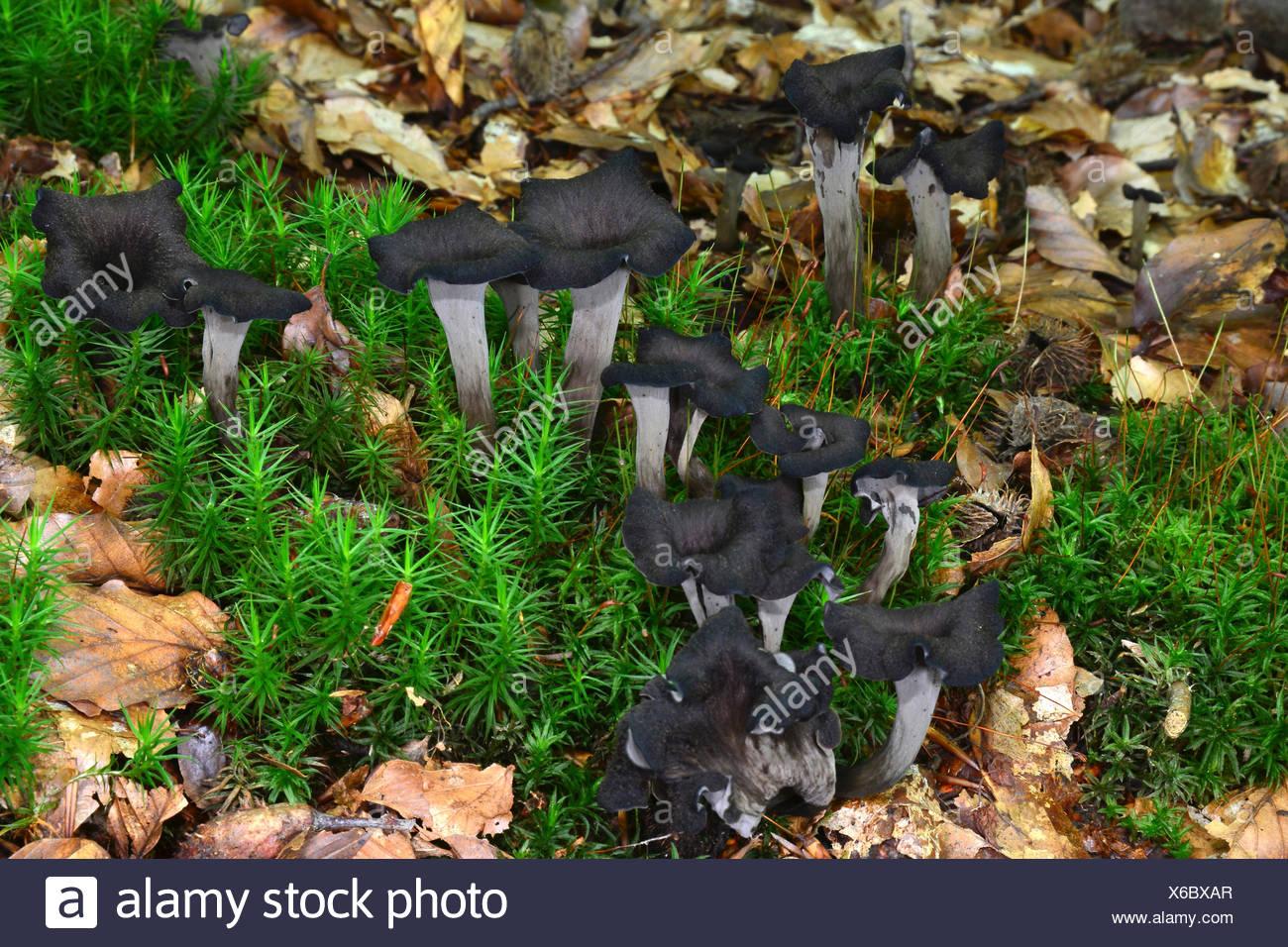 Horn of Plenty (Craterellus cornucopioides), fruiting bodies on the forest floor. - Stock Image