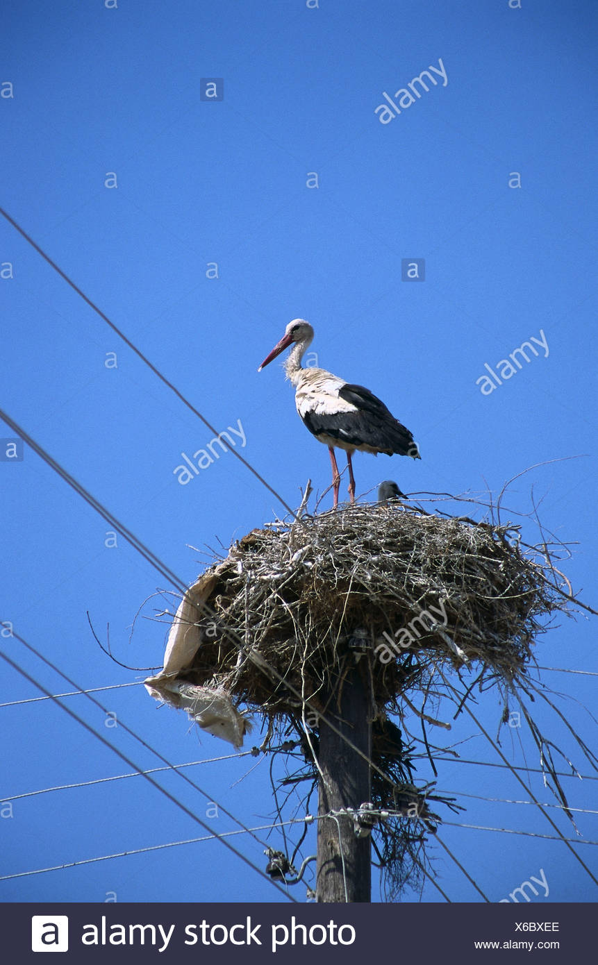 Turkey, White Stork (Ciconia ciconia) on nest atop telegraph pole - Stock Image