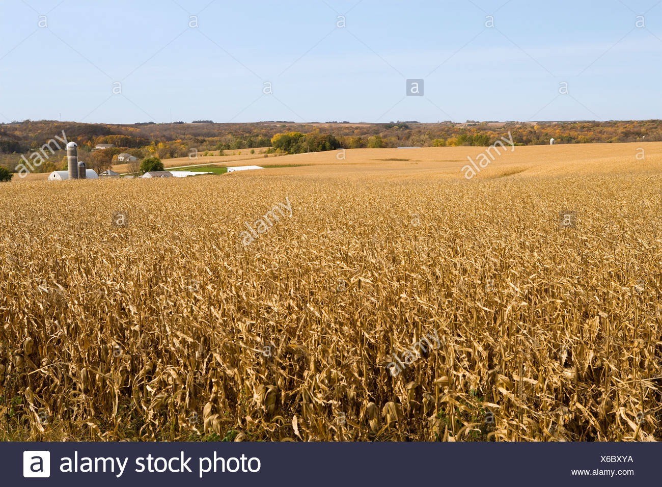 Large field of mature, harvest ready grain corn in Autumn with a farmstead in the background / near Northland, Minnesota, USA. - Stock Image