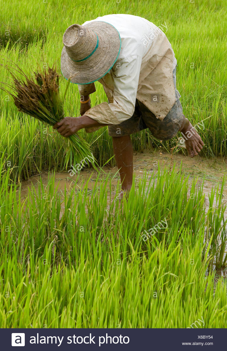 asia thailand paddy field Stock Photo