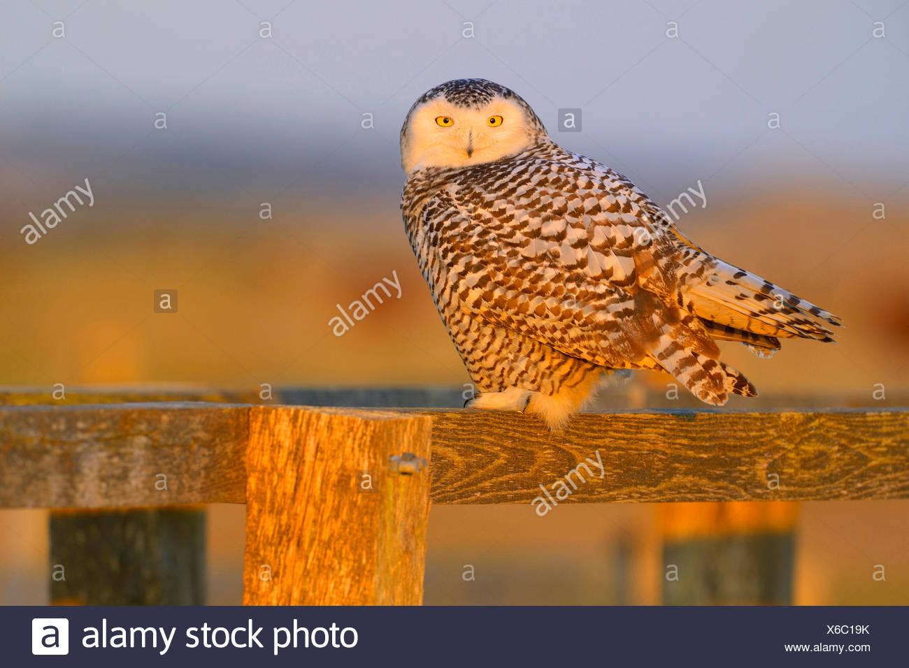 Snowy Owl (Strix scandiaca, Nyctea scandiaca, Bubo scandiacus), female resting on a wooden fence in evening light, Netherlands - Stock Image