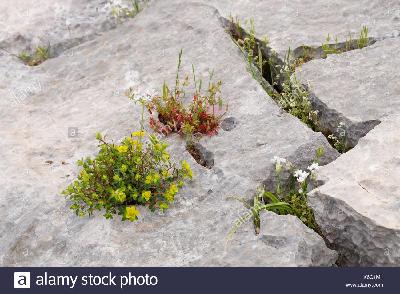 Flowers growing in crevices, Ölüdeniz, Muğla Province, Aegean region, Turkey Stock Photo